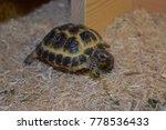 young horsefield tortoise | Shutterstock . vector #778536433