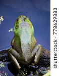 Small photo of An American Bullfrog sitting on a rock in a pond