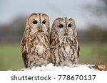 Tawny Owls  Strix Aluco  ...