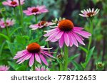Coneflower  echinacea...