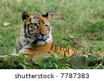 wild endangered tiger spying on ... | Shutterstock . vector #7787383
