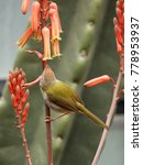 Small photo of The common tailorbird (Orthotomus sutorius) is a songbird found across tropical Asia. Little bird perched on a branches of aloe arborescens or krantz aloe feeding from orange flower.