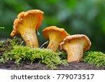 collecting chanterelle mushroom ... | Shutterstock . vector #779073517
