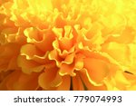 Small photo of Close up petals of marigold, yellow flowers and pungent smell