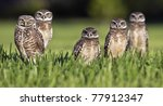 Burrowing Owl Family Portrait