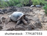 galapagos giant tortoise... | Shutterstock . vector #779187553