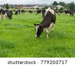 friesian cows grazing in a... | Shutterstock . vector #779203717