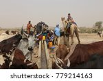 Small photo of Thirsty cows drinking in a water hole near the village of Dagala in Chad and used by nomad tribes