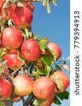 Small photo of to a ripe ripe apple on a tree close-up in the sun on a blue sky background