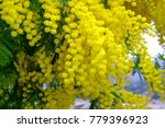 Branch Of Mimosa Tree With...