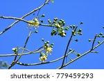 "kapok "" or  white silk cotton... | Shutterstock . vector #779459293"
