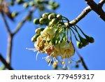 "kapok "" or  white silk cotton... | Shutterstock . vector #779459317"