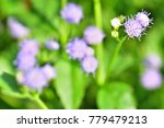 ageratum conyzoides  goat weed  ... | Shutterstock . vector #779479213