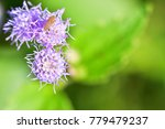 ageratum conyzoides  goat weed  ... | Shutterstock . vector #779479237