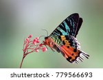 madagascan sunset moth ... | Shutterstock . vector #779566693