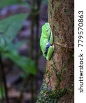 Small photo of A red eyed treefrog (Agalychnis callidryas) sleeps on a tree in the daytime. Tortuguero National Park, Costa Rica.