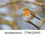 robin on a branch | Shutterstock . vector #779612947