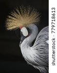 Small photo of African Grey crowned crane