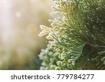 thuja during the first frost....   Shutterstock . vector #779784277