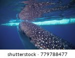 Whale Shark And Boat Underwate...