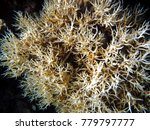 Small photo of a group of Acropora desalwii corals are white