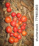 Small photo of Eugenia cúprea, Myrtaceae family. Amazonas, Brazil