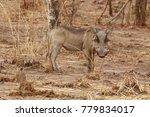 Small photo of Warthog looking over the land in Pendjari National Park, Benin