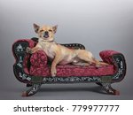 cute chihuahua on a miniature... | Shutterstock . vector #779977777