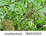 Small photo of Sambucus simpsonii (American elder) ; An outstanding a bouquet of round fruits, clinging on long stalk. both green bud and ripe reddish. Increased prominence by green leaves. natural sunlight.