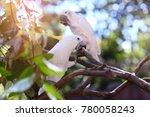 sulphur crested cockatoo | Shutterstock . vector #780058243