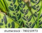calathea lancifolia plant... | Shutterstock . vector #780210973