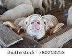 Merino Sheep In Small Barn