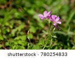 A Pink Creeping Oxalis Growths...