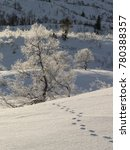 Small photo of Animal tracks in the snow leading to a birch tree, Betula pubescens