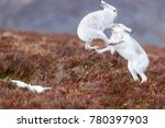 Boxing Mountain Hares Seen In...