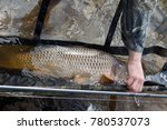 Small photo of Caught and release . Fisherman releases carp from carp sack