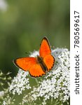 Small photo of Scarce copper butterfly, Lycaena virgaureae