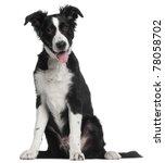 Border Collie Puppy  5 Months...