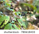 Small photo of Black berries of bane berry (Actaea spicata)