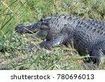Small photo of An american crocodile
