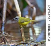 Small photo of Beautiful of Yellow Bird. Yellow-bellied Warbler ( Abroscopus superciliaris ) , in real nature of Thailand
