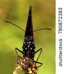 A Black Butterfly Is Posing...