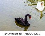 Black And White Swan  Cygnus...