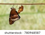 Small photo of Great female eggfly butterfly emerged from chrysalis and hanging on twig