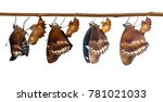 Small photo of Isolated tansformatiob of great female eggfly butterfly ( Hypolimnas bolina Linnaeus ) emerged from chrysalis and hanging on twig with clipping path