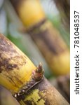 sugarcane  sugar cane   ...   Shutterstock . vector #781048537