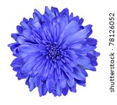 Stock photo single deep blue chrysanthemum flower isolated over white background beautiful dahlia flowerhead 78126052