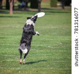 a dog playing fetch in a local... | Shutterstock . vector #781316077