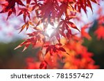 Red Japanese Maple Leaves...