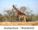 giraffe in kruger national park ... | Shutterstock . vector #781666333